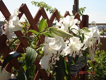 カサブランカ (植物)の画像 p1_19